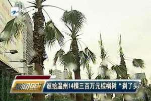 """资讯生活温州14棵三百万元棕榈树因广告牌被""""剃头"""""""